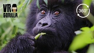 Meet The Mountain Gorillas (360 VR Video 4k) Short Version