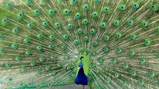 Beautiful Peacock Dance | Amazing Peacock Dance Display |  Peacock Dance Vlog | Noreva Projects