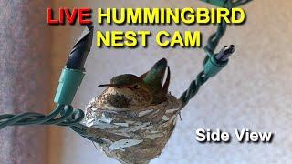 Live Allen's Hummingbird Nest Cam: Watch the Babies from Hatch to their First Flight (Side View)