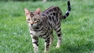 How to Keep a Bengal Cat Happy - Taking Care of Cats
