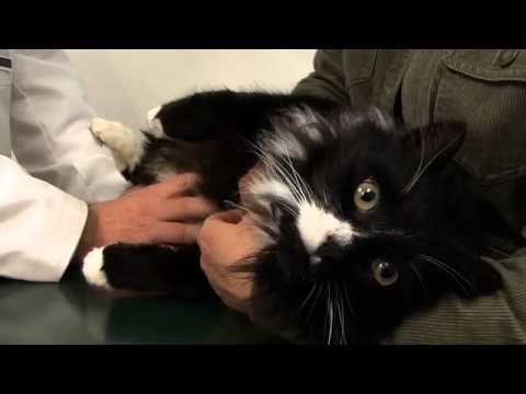 Video Cat Owner's Guide to Kidney Diseases - Part 1