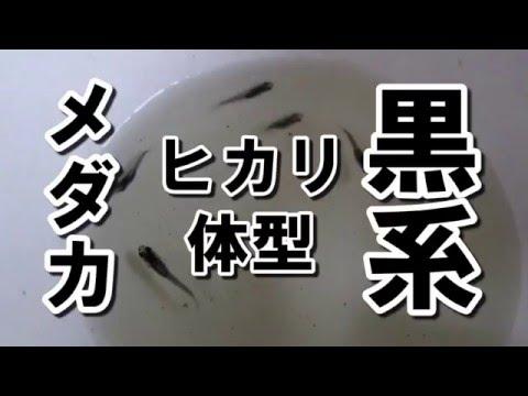 黒系 ヒカリ体型 メダカ メダカ販売店 めだか藁屋