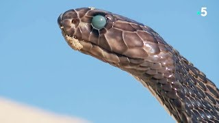 Fascinant : un serpent mue en direct - ZAPPING SAUVAGE