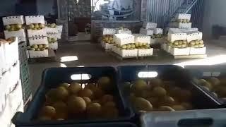 فرع طرطوس مستمر في استلام المحصول  تدخـّل «السورية للتجارة» أضاء بارقة أمل ورفع أسعار حمضيات سوق الهال