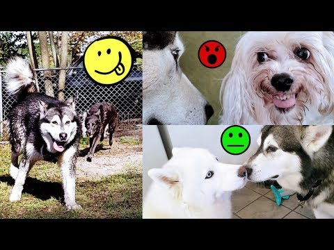 Malamute Reunited With Old Girlfriends & Husky Is Mad!