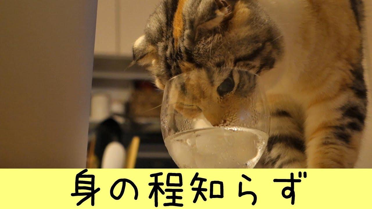 あきらめきれない猫(スコティッシュフォールド・三毛)(Scottish Fold)