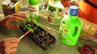 When to First Fertilize Your Tomato Seedlings with Liquid Fertilizer - The Rusted Garden 2014