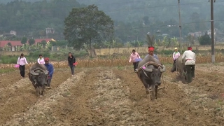 Tin Tức 24h: Nhân dân vùng lũ Quang Kim thi cày ruộng đầu xuân