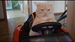 Смешной кот за рулем прикол 2017