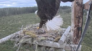 Bald Eagle Attacks Osprey Nest