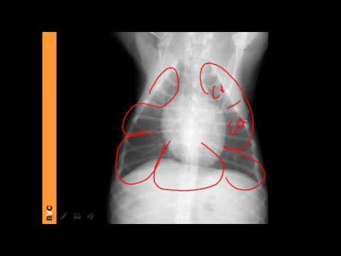 VET Talks - Normal Radiographic Anatomy Of The Canine Thorax