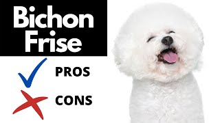 Bichon Frise Pros And Cons   The Good AND The Bad!!