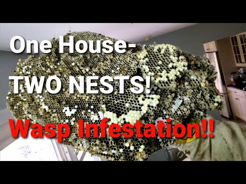 2 MASSIVE Yellow Jackets Nests in the SAME ceiling! | Wasp Nest Removals | INFESTATION