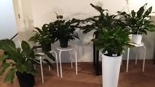 Peace Lily Care Tips | Peace Lily Collection Part 1 | Houseplant Ideas