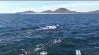 Turístas nadaron con orcas en playas de la isla Espiritu Santo