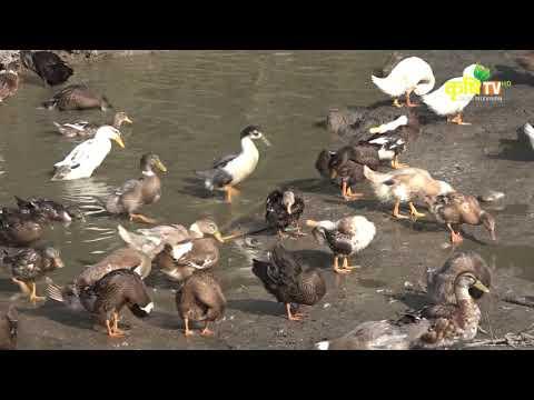 हास पालन गर्ने तरिकाहरु    Poultry Bishesh (Duck Farming)