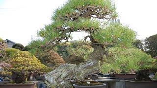 Pinus Sylvestris Yamadori Hmongvideo