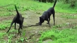 Groźne ataki węży. Pies vs wąż. 2016