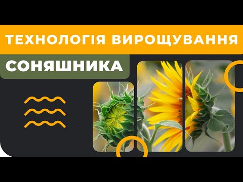 Технология выращивания подсолнуха