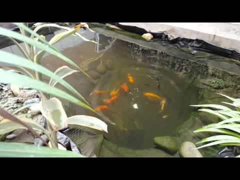 Alimentación de Carpas y Tilapias en estanque