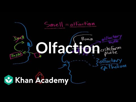 Olfaction - structure and function (video)   Khan Academy