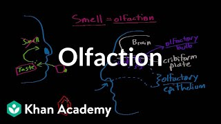 Olfaction - structure and function | Processing the Environment | MCAT | Khan Academy