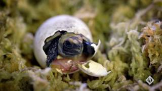 Little Giant Pumps Helping Prevent Turtle Extinction