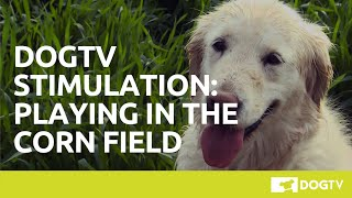 DOGTV Stimulation: Dog Playing in Corn Field. Visit DOGTV.com for a risk-free trial.
