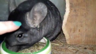 How To Tame A Chinchilla! The methods and Secrets.