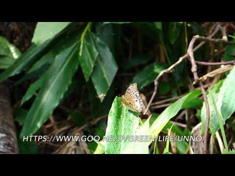 シロモンチャイロタテハの産卵行動