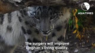 Chinese vets pull off a world's first on a big cat