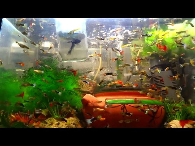 Adding salt to my 1 million guppies fish collection aquarium tank