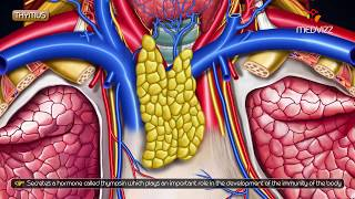 Gross anatomy of Thymus - Location and Relations