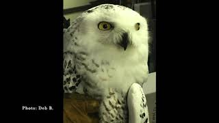Drummond Island Animal Clinic Snowy Owl Rescue To Release