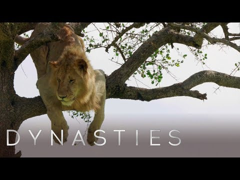 Трусишка-лев боялся слезть с дерева