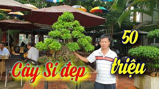 SH.4417. Cây Si đẹp giá 50 triệu vườn cảnh Năm Sanh tp Buôn Ma Thuột Đắk Lắk