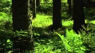 Звуки природы  Живой лес