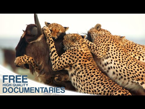 Cheetahs - High-speed hunters of the Savannah