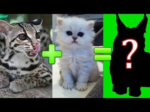 15 скрещиваний кошек разных пород. #часть 1