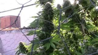Ejemplo De Marihuana Que Ya Se Puede Cosechar.
