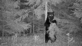 animales oso bailando