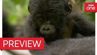 Silverback dad defends baby mountain gorilla - Animal Babies: Episode 3 Preview - BBC One
