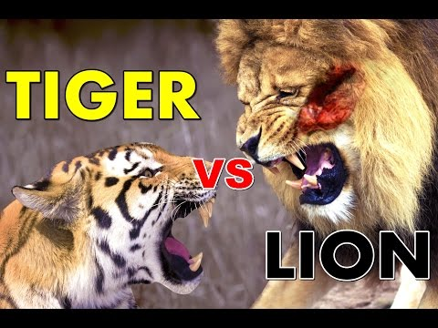 Lion vs Tiger Real Life - Fight To Death - Who Would Win?