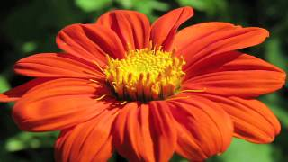 Gardening Tips : How to Grow Mexican Sunflower (Tithonia  Rotundifolia)