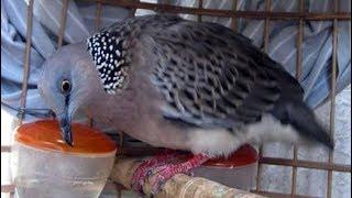 Suara Mengayun Burung Tekukur Irama Santai