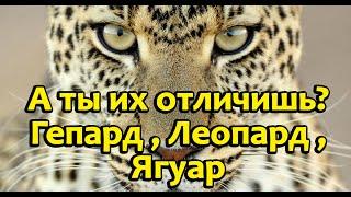 В чём же отличия гепарда,леопарда,ягуара. фото