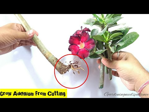 How To Grow Adenium From Cuttings || Desert Rose From Cuttings || Adenium Propagation