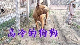幹農活還要遛狗,那麼多狗就遛這只卡斯羅,鄰居的話讓他半信半疑【狗舍】