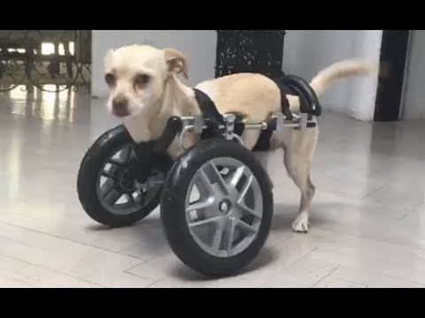 LIVE: Adoptable Two Legged Chihuahua Puppy Learns How To Use Her Wheels | The Dodo LIVE