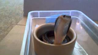 Baby cobras are so cute - Video Youtube